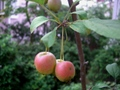 Rab_apple_20101007