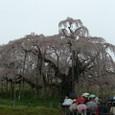 三春滝桜 01