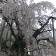 三春滝桜 02