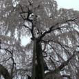 三春滝桜 03