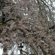 三春滝桜 04