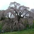 三春滝桜 06