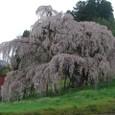 三春滝桜 08