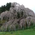 三春滝桜 07