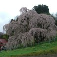 三春滝桜 09