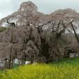 三春滝桜 10