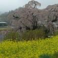 三春滝桜 11