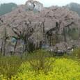 三春滝桜 12