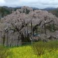 三春滝桜 13