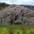 三春滝桜 15