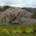 三春滝桜 16