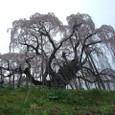 三春滝桜 17