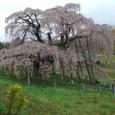 三春滝桜 18