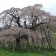 三春滝桜 19