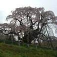 三春滝桜 20