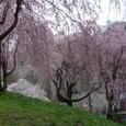 三春滝桜 21