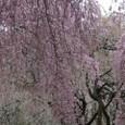 三春滝桜 22
