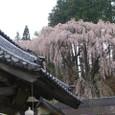 三春滝桜 24