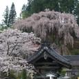 三春滝桜 25