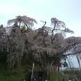 三春滝桜 26