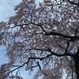 三春滝桜 27
