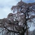 三春滝桜 28